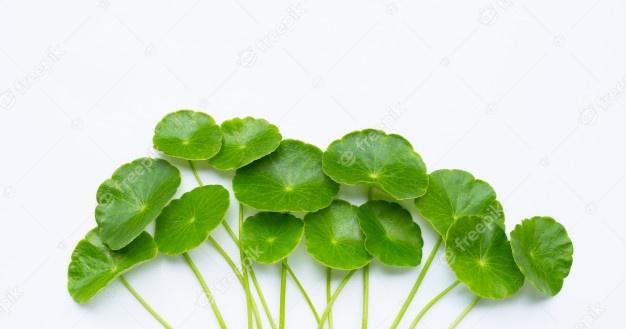 Manfaat dari Daun Pegagan (Centella asiatica) bagi kulit